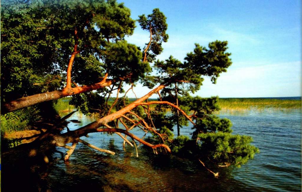 Три соснв на браславских озерах